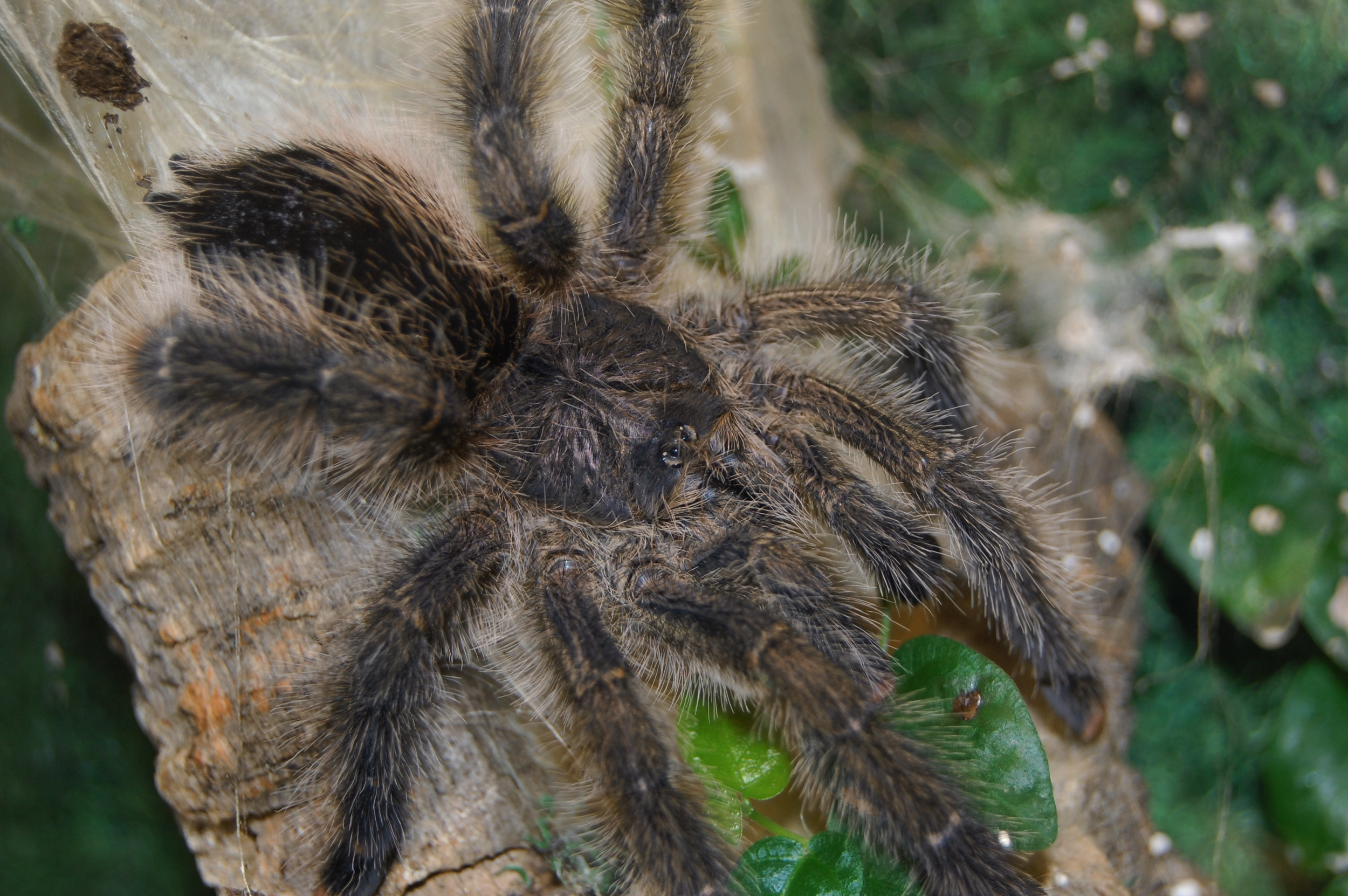 Avicularia species - Guyana