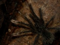 Ung Theraphosa stirmi